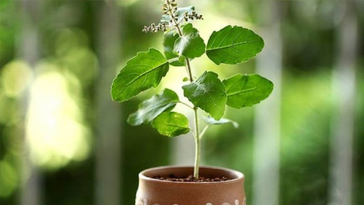 Where should you place your Tulsi plant at home?